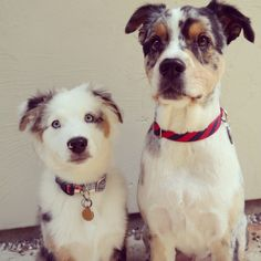 Sawyer & Ted in their Crew LaLa collars!