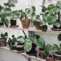 G R E E N H O U S E // love the greenhouse at my parents' place #pileapeperomioides #greenhouse #thisiswherethemagichappens #pileaheaven