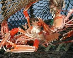 Prolonged cold weather has motivated Scottish lobster to move farther out to sea, causing landings to drop by as much as 90 percent off the east coast of Scotland and bringing about a regional shortage. This is what forced wholesale prices sharply up, explained the Scottish Creel Fishermen's Federation (SCFF), which consists of about 500 members.