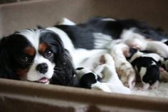 Momma and babies! King Charles Spaniel