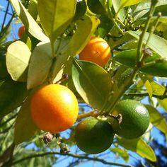 Maigrir : mise en garde de l'Anses contre les compléments de p-synéphrine (orange amère)