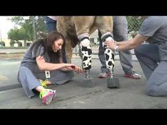 Hero the Calf is Walking Strong With His New Set of Prosthetic Legs! (VIDEO)   One Green Planet