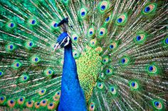 Peacock Stock Photos – 21,934 Peacock Stock Images, Stock Photography & Pictures - Dreamstime