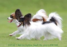 Two Papillons.