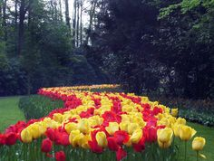 Red and Yellow tulips, Keukenhof Gardens