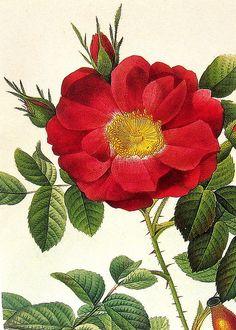 vintage, postcard, botanical, flowers
