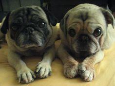 Just Like Twins - http://www.iluvallpugs.com/just-like-twins/