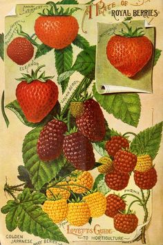 'A plate of Royal berries' from Lovett's Guide to Horticulture. Spring 1896. U.S. Department of Agriculture, National Agricultural Library...
