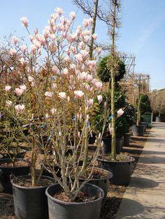 Magnolia soulangiana / Tulpen-Magnolie – absolut winterhart und vielfältige Blütenpracht mit vielen und großen Blüten – hier in Strauchform