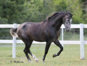 GORGEOUS!!  Imported 2010 P.R.E. Stallion - ANCCE papers. 16+ hh. FEI Prospect, suitable for a Professional or Amateur rider. Uphill conformation, beautiful dressage movement with elegant, light action. Very willing, gentle and behaves well when ridden in company! $45,000