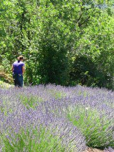 Lavender Hill - pick your own lavender