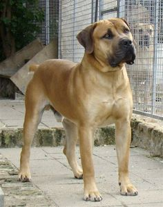 My next pup❤ Mastiff Breeds, Mastiff Dogs, Huge Dogs, I Love Dogs, Best Large Dog Breeds, Loyal Dogs, Bully Dog, Dogs And Puppies, Doggies