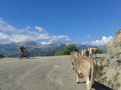 #carrera entre #ciclista y #vaquitas....¿Quien ganara?@zonazerobtt #ordesa #pirineo #btt #montaña #relax #wildlife
