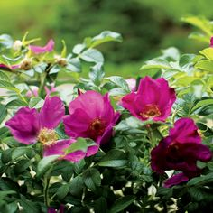 The Herbal Healing Powers of Wild Roses - Health and Wellness - Mother Earth Living