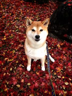Tan & cream-colored Shiba Inu -- the color that my fiance wants.