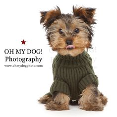 """""""#Brutus Balboa overwhelmed us with his cuteness! #PuppyGQ #lookoutANF #ohmydogphotography #sandiegodog #northpark #northparkdogs #dogs #yorkie"""" Photo taken by @ohmydogphoto on Instagram, pinned via the InstaPin iOS App! http://www.instapinapp.com (02/28/2015)"""