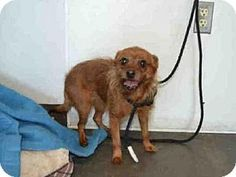 Chatsworth, CA - Yorkie, Yorkshire Terrier/Chihuahua Mix. Meet COOKIE, a dog for adoption. http://www.adoptapet.com/pet/17781715-chatsworth-california-yorkie-yorkshire-terrier-mix