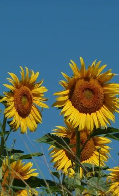 """Sunflowers - plant lots of these, then dry the whole """"head"""" for feeding to the chickens in winter.  Easy & cheap to grow.  (expensive to buy)"""