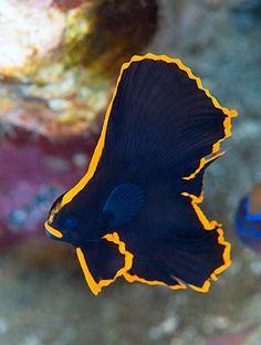 """Batfish ~ Miks' Pics """"Sea Life l"""" board @ www.pinterest.com…"""