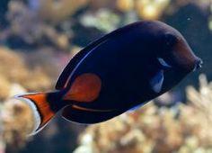 Acanthurus achilles (en) Achilles Tang, Red-spotted Surgeonfish, (fr) Chirurgien à tache rouge