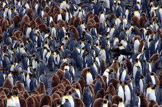King Penguins and Skua, Salisbury Plain, South Georgia. Photo by Peter C.