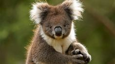 Koala - Australia  http://www.visitmelbourne.com/regions/Yarra-Valley-and-Dandenong-Ranges/Activities-and-attractions/Nature-and-wildlife/Wildlife-and-zoos/Healesville-Sanctuary.aspx