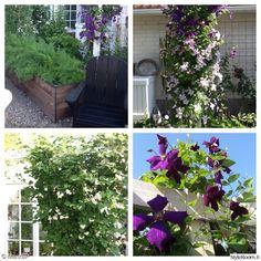 kasvit,piha,viherpiha,kasvulaatikot,köynnökset