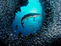 Tarpon and Silversides, Grand Cayman