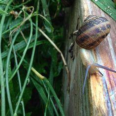 Raising snails in the garden.