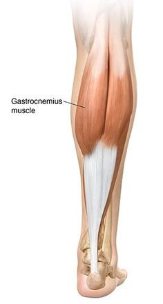 gastrocnemius muscle - 300×557