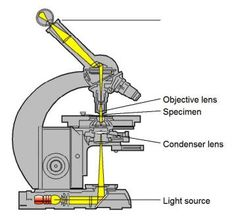 Difference between Light Microscope and Electron Microscope   Biology Exams 4 U