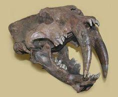 Twitter / ferwen: #FossilFriday Skull of Smilodon ...