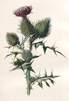 Botanical thistle: tattoo idea