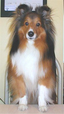 Sheltie ~~~~ how cute!  I grew up with these amazing Dogs and with Border Collies too. I simply cannot see any kind of character flaw with these Loyal, Beautiful and so lovingly good natured Dogs. This one has lovely markings and is alert as a button :)  <3