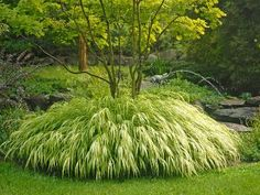 Golden Japanese Forest Grass-Partial to full shade.