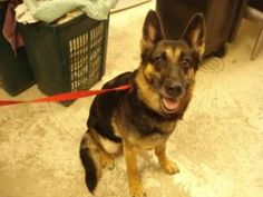 Baby is an adoptable German Shepherd Dog Dog in Baraboo, WI. Thank you for considering a companion animal from the Sauk County Humane Society located in Baraboo, Wisconsin. If you are interested in on...
