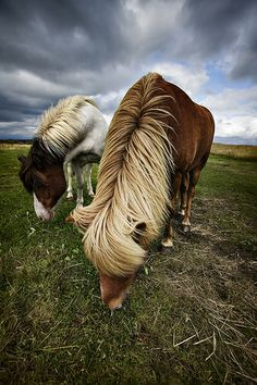 Icelandic horses are so loved by the people of Iceland that they guard the bloodline zealously. When you're in Iceland, you will only see Icelandic horses, all other breeds are not allowed. If an Icelandic horse leaves the island for any reason, they're not allowed back. They're beautiful and intelligent animals.