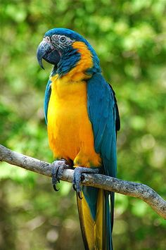 Blue -Throated Macaw (Ara glaucogularis)