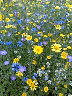Wild flower Meadow, Ness Gardens, Wirral, UK