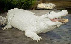 This is Trezo Je, one of four leucistic alligators at Gatorland in Orlando, Florida. There are only 15 known leucistic alligators in the world, according to Tim Williams, the park's  media relations officer. Leucistic alligators are known for their white skin and blue eyes.