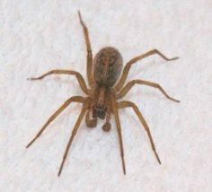 Hobo spiders are often confused with giant house spiders and the brown recluse. They have a distinctive herringbone pattern. They will bite humans. The jumping spider is a natural predator to the Hobo spider. Giant House Spider, Hobo Spider, Flea Removal, Fake Spider, Spider Webs, Brown Recluse Spider, Spider Pictures, Halloween Spider Decorations, Insects
