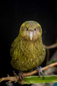 """""""We were hoping to have juvenile back home on Whenua Hou this week, but she needs to stay longer at for further monitoring. It's been a long road to recovery, and we're amazed she's got this far. Awesome pic by Lydia Uddstrom. Flightless Parrot, Kakapo Parrot, Zoo Animals, Animals And Pets, Cute Animals, Pretty Birds, Beautiful Birds, Beyond The Sea, Creature Feature"""