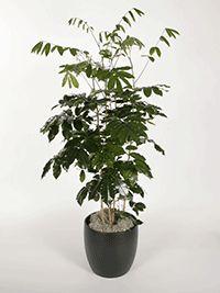 Image result for natal mahogany