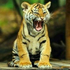 funnywildlife:  Hungry Tiger Cub