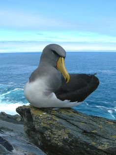 Chatham Albatross, also known as the Chatham Mollymawk
