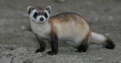 black-footed ferret 5244106245_e15713a5ea_o