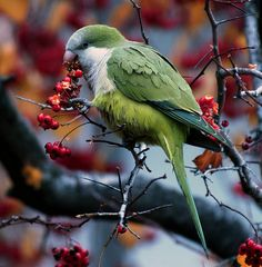 Monk Parakeet - flocks of these are found living in large nests in and around Hyde Park in the parks.
