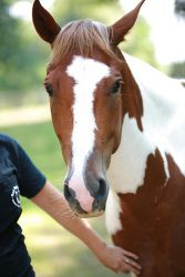 Rooster is an adoptable Paint/Pinto Horse in Greensboro, NC. Interested in adopting? Apply for me! See www.reddogfarm.com for more details Rooster was surrendered to us when his owners sold their farm...
