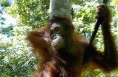 Orangutan survival is seriously threatened by palm oil plantations. (IPS Photo/Kafil Yamin).  Masarang arenga- palmusokeri on oikea vaihtoehto tälle! Länsimaiden tarve biodieselille on tämän takana, ei se, että ruuaksi kasvatettaisiin palmoöljyä.