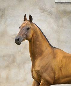 Buckskin or dun Akhal-Teke horse - Equine Photography by Ekaterina Druz Most Beautiful Horses, All The Pretty Horses, Beautiful Things, Beautiful Creatures, Animals Beautiful, Jaguar, Akhal Teke Horses, Buckskin Horses, Rare Horse Breeds
